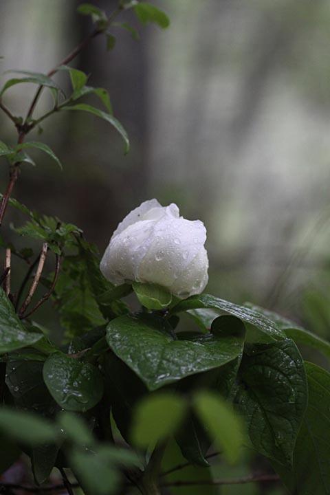 Yamashakuyaku2_100519