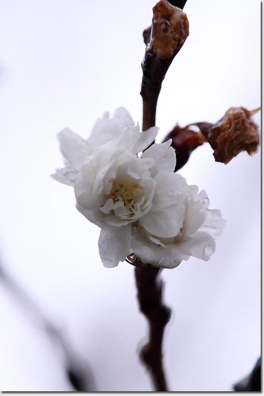 Sakura_3581_20130122