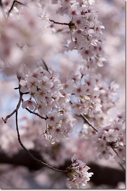 Sakura_8243_20140402