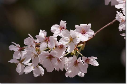 Sakura_8246_20140402