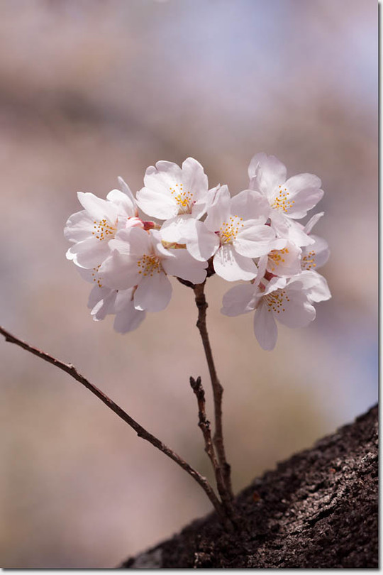 Sakura_8255_20140402