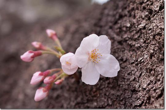 Sakura_8256_20140402