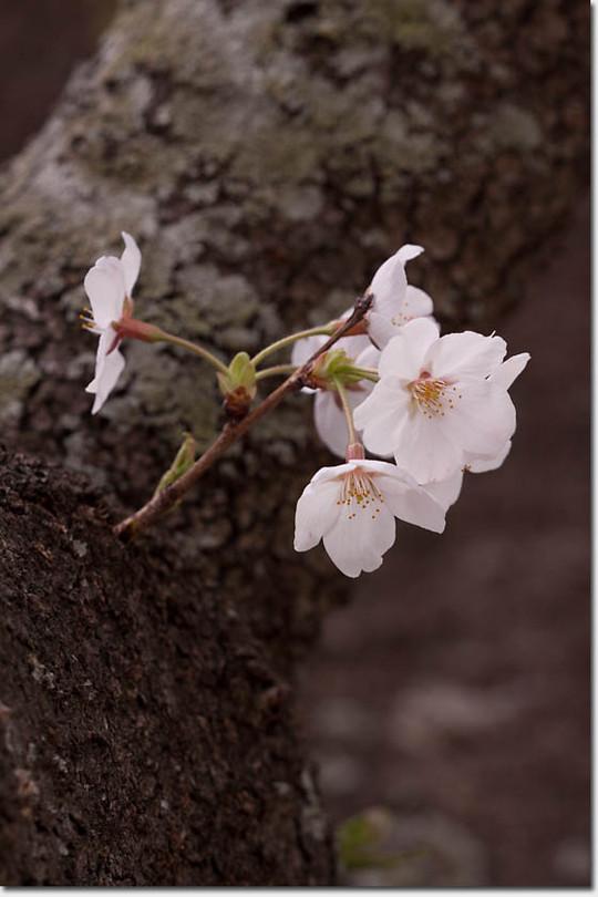 Sakura_8260_20140402