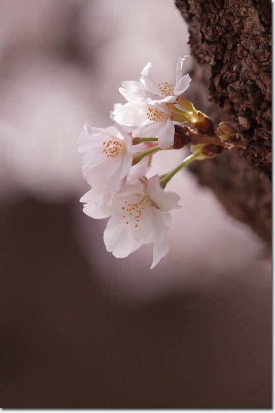 Sakura_8263_20140402