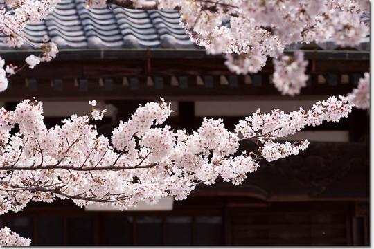 Sakura_8266_20140402