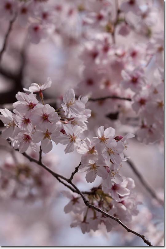 Sakura_8268_20140402