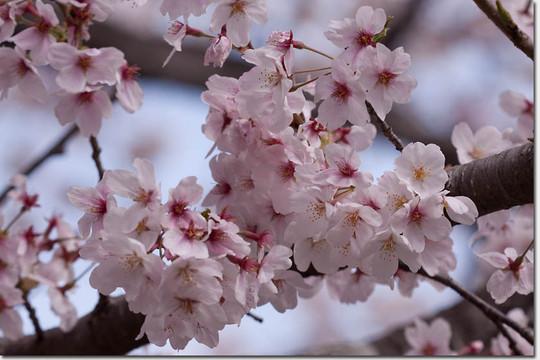 Sakura_8271_20140402
