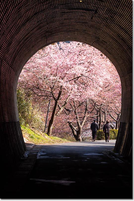 Kawadu_sakura_3246_20150313