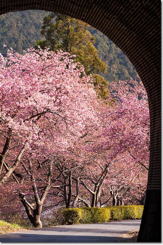 Kawadu_sakura_3265_20150313