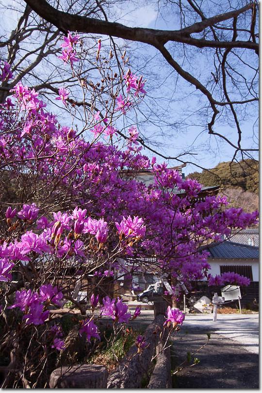 Murasakiyasio_3365_20150317