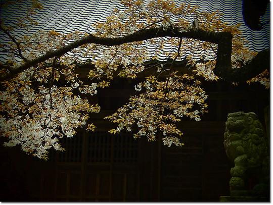 Sakura_078_20150402
