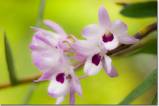 Dendrobium_4447_20150509