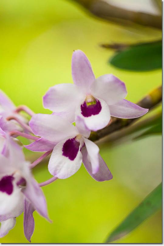 Dendrobium_4453_20150509
