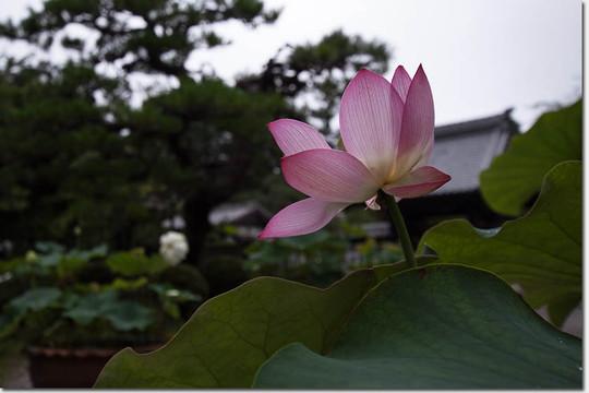 Hasu_5596_20150710