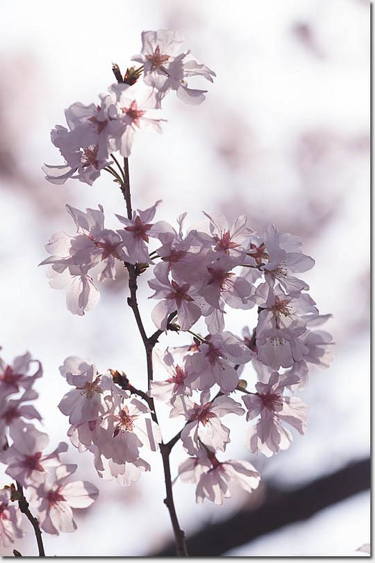 Sakura_4859_20180317
