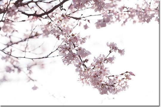 Sakura_4861_20180317